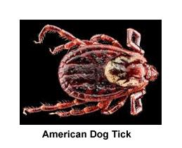 American_Dog_Tick