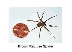 Brown_Recluse_Spider