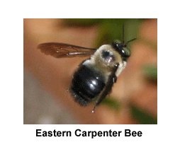 Eastern_Carpenter_Bee