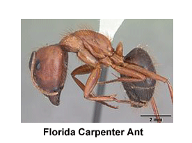 Florida_Carpenter_Ant