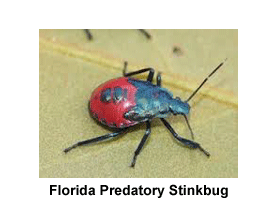 Florida_Predatory_Stinkbug