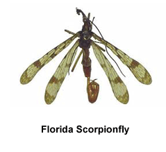 Florida_Scorpionfly