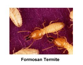 Formosan_Termite