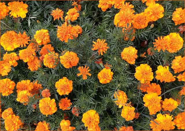 Marigolds essential oils are mosquito repellent