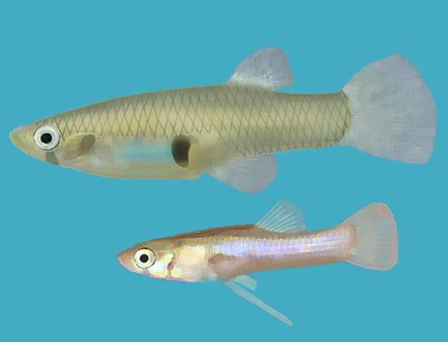 Mosquitofish-Gambusia_holbrooki