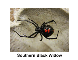 Southern_Black_Widow