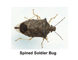 Spined_Soldier_Bug