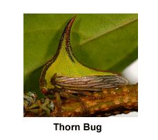 Thorn_Bug