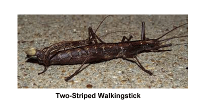 Two-Striped_Walkingstick