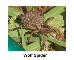 Wolf_Spider