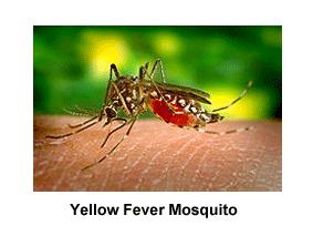 Yellow_Fever_Mosquito