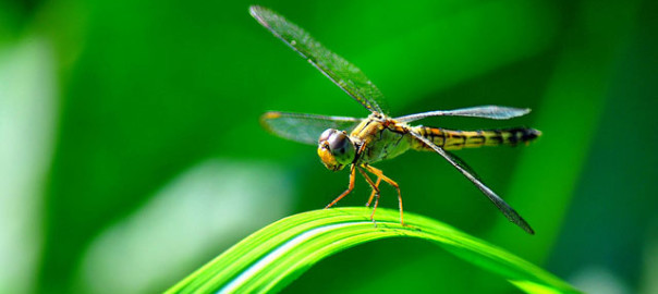 dragonflies prey on both mosquitoes and their larvae
