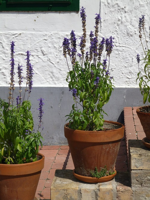 Lavender, a popular mosquito repellent plant