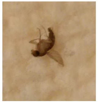 Tiny Flying Bugs with Banded Bodies 2. What s This Bug  1 16 Inch Flying Bugs Found In Coffee   BugOfff com