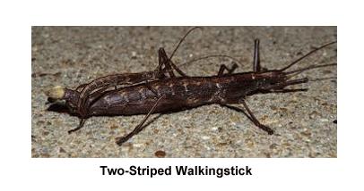Two Striped Walkingstick